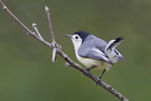 birding gnatcatcher